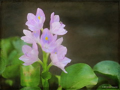 Water Hyacinth (ulli_p) Tags: flowers light flower art texture nature water colors beautiful beauty canon thailand pond colorful asia southeastasia colours bokeh blossoms floating best petal blume textured awesomeblossom isan waterhyacinth naturesfinest likeapainting amazingcolours flowerscolors flickraward texturedphoto ruralthailand flowerwatcher earthasia auniverseofflowers awardtree awesomeblossoms totallythailand artofimages exoticimage canoneoskissx5