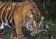 Smithsonian National Zoo Sumatran Tiger  (85) (smata2) Tags: zoo washingtondc smithsonian dc tiger tigre nationscapital smithsoniannationalzoo greatcats itsazoooutthere zoosofnorthamerica flickrbigcats