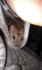 Maiev rests in my Shirt-sleeve. (Scratchblack) Tags: pet cute animal rodent rat sweet adorable resting lovely rex beloved agouti maiev