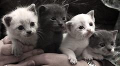 IMG_5765 (Pedro Montesinos Nieto) Tags: cat gatos animales fragile mascotas miradas laedaddelainocencia frgiles