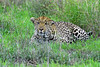 Leopard in the Grass (mutter2009 *OFF*) Tags: southafrica leopard stalking krugernationalpark camouflaged naturesfinest coth alittlebeauty coth5