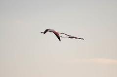 DSC_7611.jpg (Ferraris Clemente) Tags: sardegna wild birds sardinia uccelli pinkflamingo olbia stagno fenicotterirosa