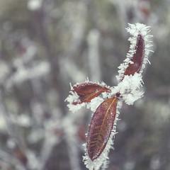 Brown Leaves (TinaP358) Tags: winter plant green square amazing awesome freezing kitlens best freeze 1855mm nikkor exellent f3556vr nikkor1855mmf3556vr nikond5000