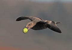 Gull 1, Dog 0 (Ron Wolf) Tags: california bird nature wildlife gull halfmoonbay larusargentatus herringgull laridae venicestatebeach