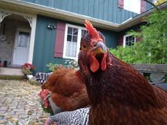 Chicken selfies!!