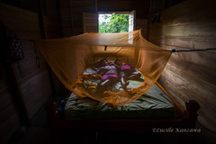 Acabando de acordar.../ Just waking up... (Lucille Kanzawa) Tags: bed bedroom quarto cama woodenhouse mosquitonet proctection proteo orangecolor casademadeira mosquiteiro aldeiaindgena corlaranja altosolimes aldeiasantains etniaticuna moradianaamaznia casademadeiraindgena quartodecasademadeira
