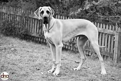 Armani (dnawork) Tags: portrait dog animal fairytale giant dane ddc fci armani zucht scdd gratdane dnawork offairytalegiant