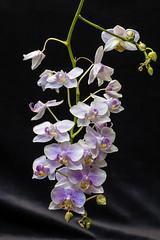 2014-02-24 577 (pdophoto) Tags: orchid pentax mf manualfocus primelens kmount k10d smcpentaxk5518
