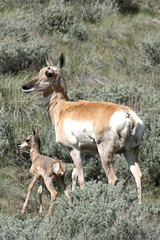 antelope and newborn montana magazine