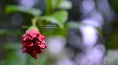 Beauty Of Bud (Sanhita Bhattacharjee/সংহিতা ভট্) Tags: red india flower beauty google nikon getty bud gettyimage joba tripura phool 500px of nikkor1835mmlens ফুল জবা nikond3100 sanhitabhattacharjee
