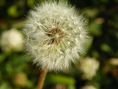 5-1-14 002 (LeeLee's pictures) Tags: 5114 mississippiriver woods nature dandelions yellow flower wildflower weeds makeawish white flyaway