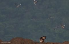 Bonelii's Eagle (Hieraaetus fasciatus) (mragu) Tags: india bird karnataka 400mm bhadra shimoga 40d hieraaetusfasciatus 400mmf56 canon40d raghavendram raghavendramayagundi boneliiseagle
