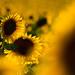 Sunflower field / Sonnenblumenfeld