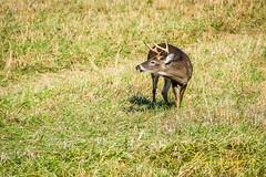 Buck During Rut (Photography by Butzin) Tags: grass deer pasture buck smokymountains whitetail cadescove smokymountainnationalpark