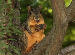 Eastern Fox Squirrel (Sciurus niger), Reelfoot Lake, Tiptonville, Tennessee (kmalone98) Tags: redsquirrel reelfootlake easternfoxsquirrel sciurusniger orangesquirrel
