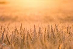 Les bls en or (photosenvrac) Tags: jaune photo or culture lumiere paysage campagne beauce ble sigma150 thierryduchamp