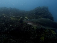 grey nurse (ce2de2) Tags: ocean fish shark underwater diving scubadiving reef byronbay greynurseshark visibility1012m