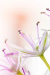 Flower (Marta Michalowska) Tags: pink light flower macro cute green beautiful nikon purple little small smooth violet garlic makro kwiatek kwiat czosnek nikond3100
