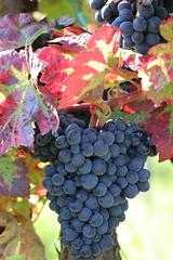 herbst / autumn (konstantin oxy) Tags: trauben herbst rot red autumn