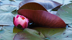 Lotus flower (LenareRose) Tags: flower macro plants moss petals waterbeads stamin roots leaves garden park botanicalgarden closeup macroflowers