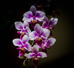 _15L9830 (5816OL) Tags: flowers dad orchids
