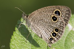 IMG_8538-2 (Jamil-Akhtar) Tags: canon6d tamron 200400 canon500d closeuplens nature macro insect butterfly islamabad pakistan commonfourring ypthimahuebneri
