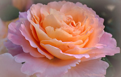 the last rose (Fay2603) Tags: fuji xt1 rose augusta luise duft smell blume flower blossom blte plant pflanze zart delicate outdoor pastell heiter licht light bltenbltter leaves rose rosa apricot