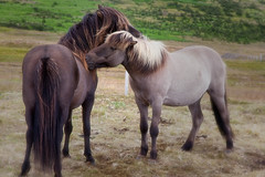Friends _5425 (hkoons) Tags: icelandichorse northwesticeland skagipeninsula westfiords westfjords barbedwire fence horses iceland saurkrkur animals caged corral equestrian farm fenced fencing fiord fjord grass graze grazing green greens horse island mammal mammals north pets ranch riding