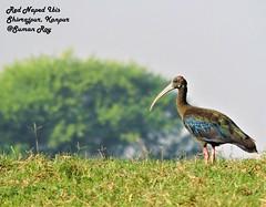 Patience (r0ysuman) Tags: red naped ibis nikon p 530 kanpur india flora fauna nature bird birds patience coolpix