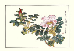 Rugosa rose (Japanese Flower and Bird Art) Tags: flower rugosa rose rosa rosaceae shoseki kose nihonga woodblock picture book japan japanese art readercollection