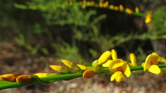 Viminaria juncea_3 (Tony Markham) Tags: viminariajuncea goldenspray nativebroom fabaceae faboideae dharawalnationalpark dharawal 10b 10bfiretrail