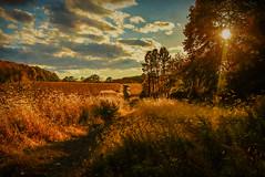 amber fields (trs125) Tags: fall autumn cornfields amber sun clouds path