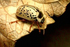 LeafBeetleDream (Brenda Dobbs) Tags: manipulated manipulation dreamscope distorted beetle coleoptera insecta insect bug nature