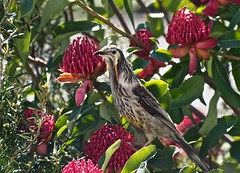 Yellow wattle bird in Waratah. (di on the wallaby) Tags: bird australianbird yellowwattlebird anthochaeraparadoxa inmygarden stclements derby tasmnia australia