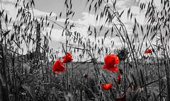 Amapolas (Jess Vegue) Tags: ciudadreal flores europa castillalamancha espaa amapola espaa es