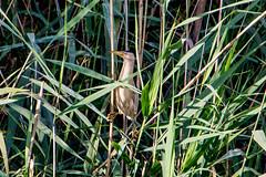 little bittern (bramvanderzanden) Tags: wildlife animal bird tervuren belgium