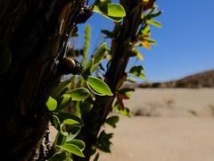 Desert life (Nicolas) Tags: america amerique cactus california californie chaud ciel desert detail holidays hot joshuatree life nationalpark nicolasthomas plant plante sand sky usa vacances vie
