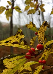 #Fall #in #New #England #Autumn #October #nature #leaves #changing #fallen #leave #on #the #ground #trees #tree #colors #outside #yellow #red #reaping #harvest #falling #woods #forest #Connecticut #Mike #Liebler #Paul #at (mikeliebler222) Tags: woodlands woodland wilderness grayday grayforest gray damp wetcold raining rainy rainydays rain growingwild redberries redberry wildredberries brilliant wildberry foggyforest foggy fog fall new england autumn october nature leaves changing fallen leave ground trees tree colors outside yellow red reaping harvest falling woods forest connecticut mike liebler paul
