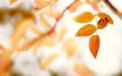 Feuilles d'automne (david49100) Tags: 2016 novembre2016 d5100 feuilles leaves maineetloire nikon nikond5100 novembre rochefortsurloire