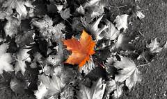 It's All About Survival (Michelle O'Connell Photography) Tags: autumn autumncolours autumnseason autumnleaves fallenleaves leaves leaf mapleleaves michelleoconnellphotography