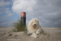 Sarah (dewollewei) Tags: oldenglishsheepdog oldenglishsheepdogs oldenglishsheepdogsworldwide oldenglishsheepsdog oes bobtail dewollewei sophieandsarah sophieensarah ameland beach strand dunes pole waddeneilanden wadden hollum