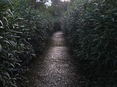 Lost in Oleander (valerimihailov) Tags: oleander magic path minotaur labyrinth flower sicily
