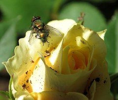 Green backed fly and tiny spider on a rose... (Anni - with camera) Tags: roses flies spiders inmygarden greenbackedfly fliesaspollinators windaroo queensland australia