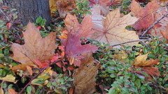 colours of the autumn 20161023_162912 (hans 1960) Tags: fall herbst autumn bltter leaves farben colour colourful nature natur bunt stamm germany outdoor
