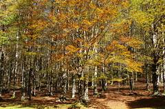 autumn tree (SS) Tags: ss pentax k5 smcpentaxda1855mmf3556alwr forest trees autumn woodland foliage fagus faggeta beech montisimbruini lazio italy nature landscape outdoor plant tree