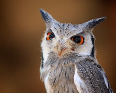 big eyes - small bird (peet-astn) Tags: owl eyes feathers bird lorypark midrand southafrica bigeyes dof beak ears