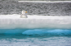 20090708-TRIP-Spitsbergen-Norway-d-124-20090710-TRIP-Spitsbergen-Norway-d-0147_gull_resting_on_ice (djstirz) Tags: 2009 arctic arcticcircle norway peregrine spitsbergen expedition ice polar polarbear walrus
