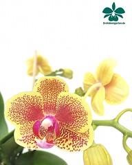 Dtps Sogo Viker #orchids #Orchidee #Orchideen #OrchIDEENgarten #orqudea #orqudeas #orchides #orchide #orchidej #orchideje #orkid #orkider #storczyki #storczyk #nature #naturelovers #iloveorchids #loveit #Blumen #colourful #colours #orchidacea #flower (orchideengartenkarge) Tags: orchid orchids orchideengarten flowers flower blume blumen orchideen flores orquideas orkideer