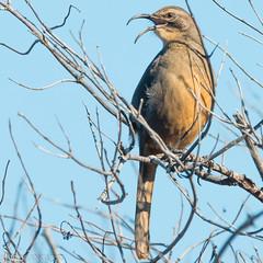 California singing... (Wideangle55) Tags: 600mm sanjoaquinmarsh wildlifesanctuary sanjoaquinmarshwildlifesanctuary wideangle55 nikon d800 colors birds red yellow 14teleconverter californiathrasher thrasher