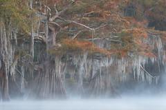 Autumn in the Ancients (Exploring Light) Tags: atchafalaya louisiana swamp cypress baldcypress fog mist morning fall autumn swamplands atchafalayabasinlouisiana